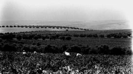 Vendimia Montilla 1970
