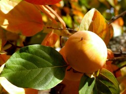 Fruits_autumn_09 022